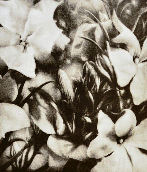 Christine Johnson - Blue leschenaultia (lechenaultia biloba) (A series) (2012-2014)
