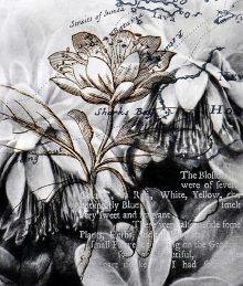 Christine Johnson - Desert rose (diplolaena grandiflora) (A series) (2012-2014)