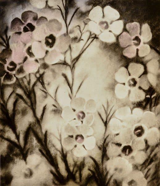 Christine Johnson - Geraldton wax flower (chamelaucium uncinatum) (A series) (2012-2014)